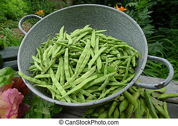 fresh beans from garden - fresh beans picked in a summer...