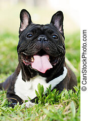 happy dog of the French bulldog lies in summer on the grass,...