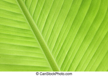 green banana leaf fresh nature background