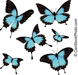 Mountain Swallowtail Set - Collection of papilio ulysses...