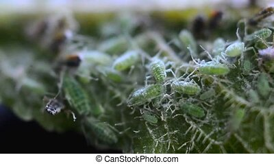 Green aphids macro - Extreme magnification macro shot of...