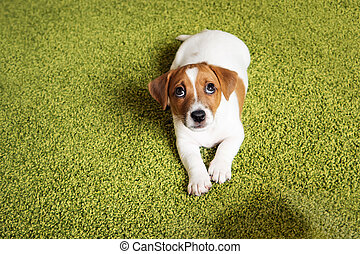 Puppy Jack russell terrier lying on a carpet and looking up...