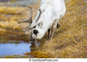 Close-up of reindeer drinking water in the arctic nature -...