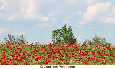 poppies flower meadow landscape