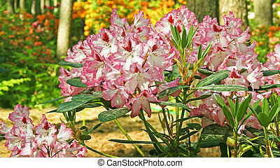 Rhododendrons - Colored big Rhododendrons Spring 2016...