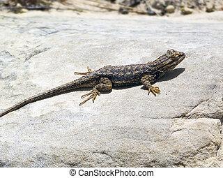 Lizard Sunning on a Rock - A lizard suns itself on a rock in...