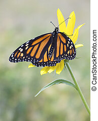 Monarch on Sunflower - A Monarch Butterfly on a miniature...