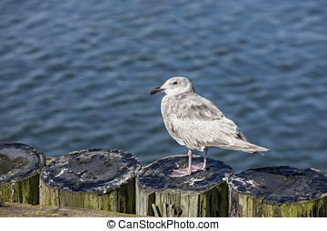 Juvenile seagull perched on posts. - A young juvenile seagul...