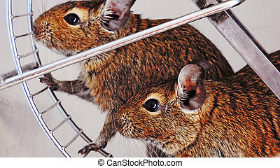 Degu - Isolated degu pets sitting in metal wheel