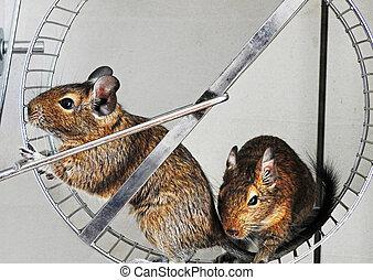 Degu - Isolated degu pets sitting in metal wheel