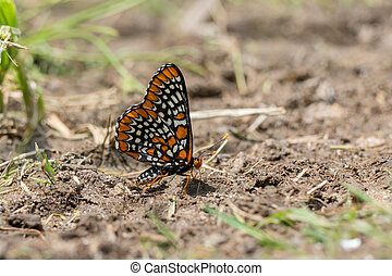Baltimore Checkerspot Butterfly getting nutrients from...