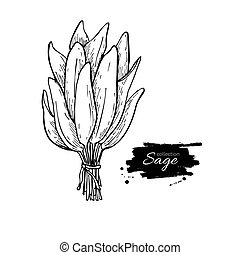 Sage bunch vector drawing. Isolated sage leaves bunch. Herbal engraved