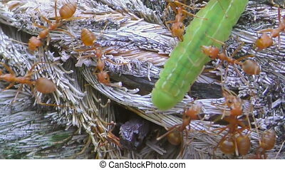 Red ants and green larvae - Colony of red ants green larva