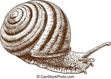 engraving illustration of snail - Vector antique engraving...