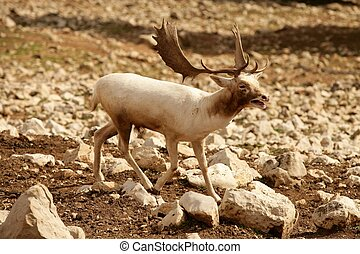 Beautiful white fallow deer on a rocky