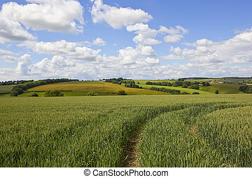 yorkshire wolds landscape with wheat field - a green wheat...