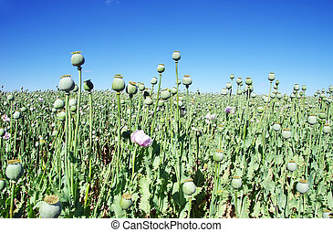 Opium poppies on field