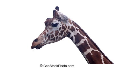 giraffe in the summer warm weather on white background -...