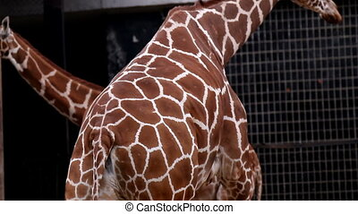 giraffe in the zoo is in the summer warm weather, head neck...