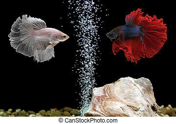 betta siamese fighting fish - betta fish, siamese fighting...