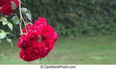 Closeup of red rose flower blooms in heavy rain water fall...