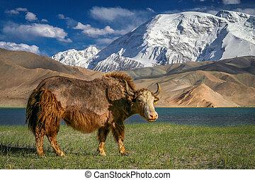Big Yak - Big yak on the shore of Kara Kul lake in Karakorum...
