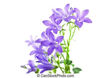 campanula flowers isolated on white background horizontal...
