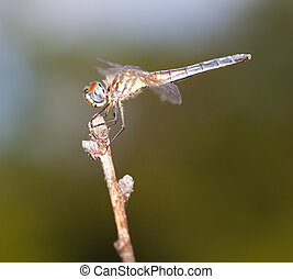 Lofty perch - Dragonfly with blue eyes on the top of a stick