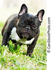 dog French bulldog in the summer on the nature, standing and...
