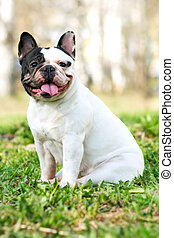 dog breed French bulldog black and white color in the summer...