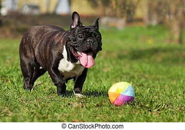 happy dog French bulldog plays with ball in summer on the...