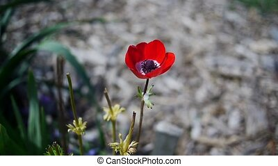 Red poppy. - Red poppy in the garden.
