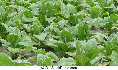 Tobacco plant in field, zoom out