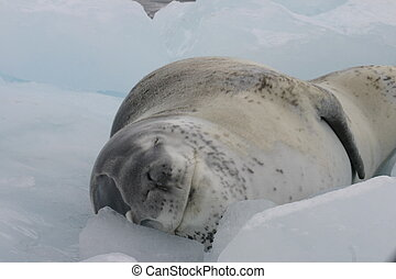 Dangerous leopard seal on ice floe in Antartica