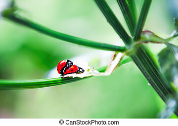 Ladybird Mating in spring - A pair of ladybugs making love...