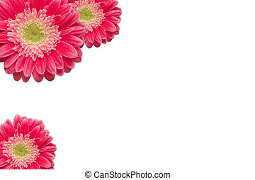 Bright Pink Gerber Daisies with Water Drops on White