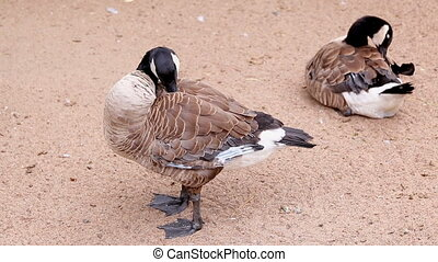 two adult canadian goose on the banks preen their feathers...