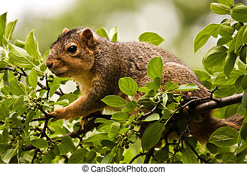 Eastern Fox Squirrel Forging For Food In A Tree