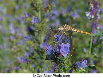 dragonfly on blue flower - Common Darter dragonfly on blue...