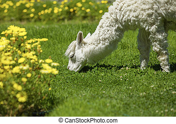 Baby lama feeding on grass surrounded with yellow flowers.