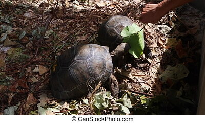 Two 4 years old giant tortoises at Curieuse Island,...