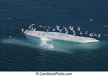 Sea birds on ice floe in Nunavut (canadian arctic sea)