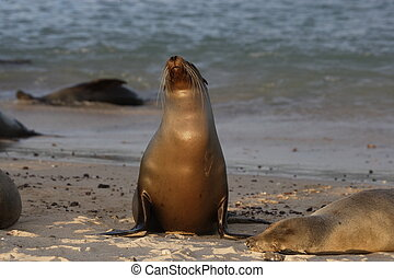 Sea lion at sunset on Galapagos Island