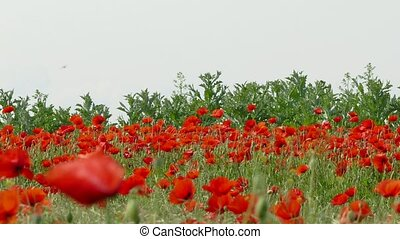 Field With Poppies Against Grey Sky - DOLLY SHOT. Rural...