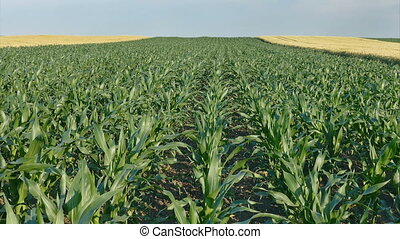 Corn plant in field - Agriculture, corn plant in field, late...