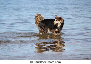 Dog Reacts to Seaside Waves - Large dog reacting to shallow...