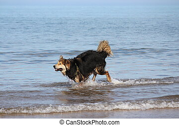 Dog Reacts to Seaside Waves. - Large dog reacting to shallow...