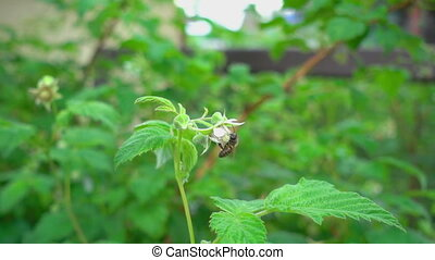 Bee on raspberry flowers - A bee pollinating an raspberry...