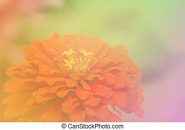 the zinnia elegans pink flowers a color adjustment in soft...