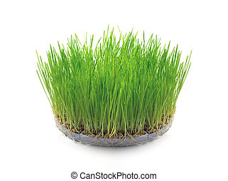 Sprouted wheat grain in the form of grass